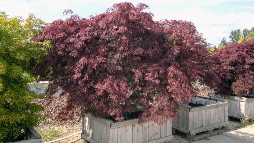 Acer Palmatum Disectum Garnet
