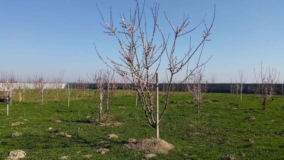ovocný sad v Senci na jar