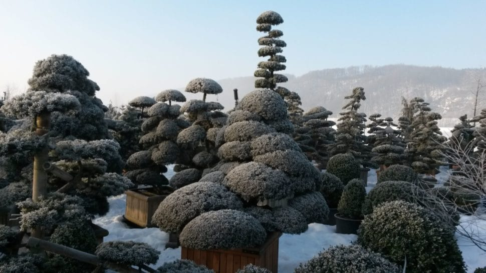 bonsaje v zime