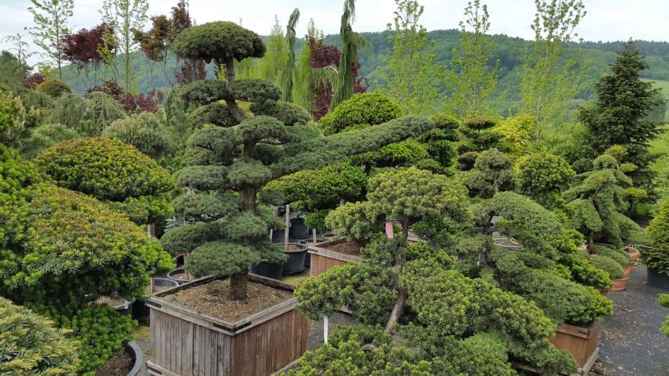 bonsaje z Japonska