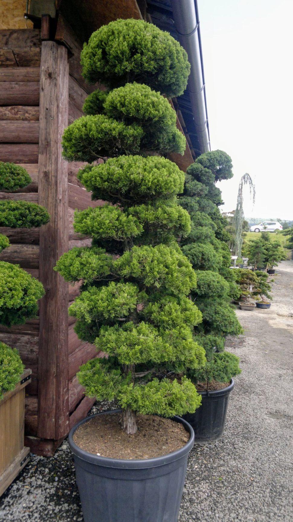 juniperus kaizuka