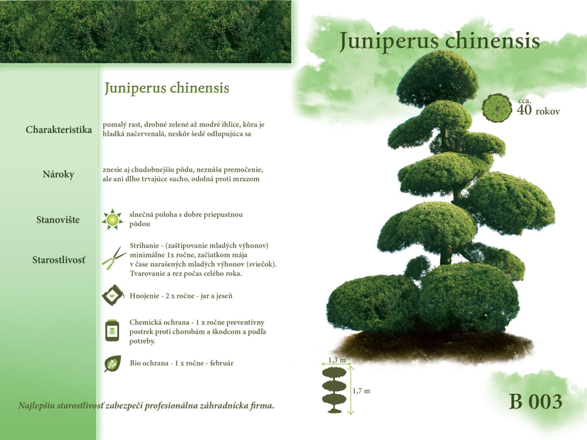 Juniperus chinensis Tuja bonsaj