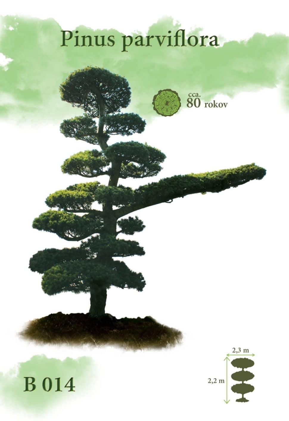 Pinus parviflora Borovica bonsaj