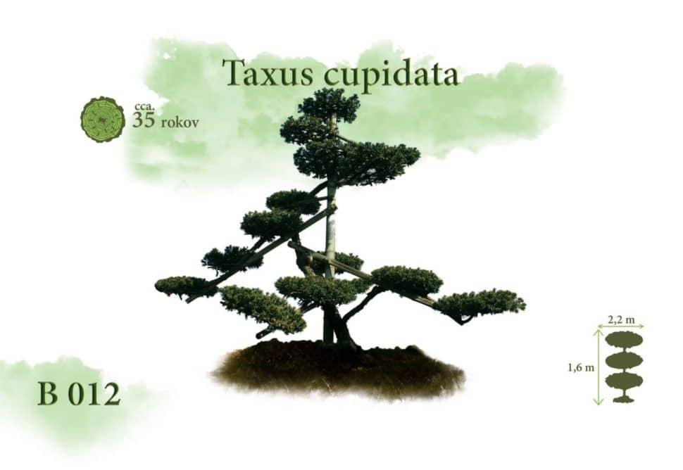 Taxus cuspidata Tis bonsaj